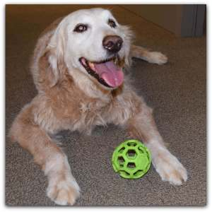 A mature golden retriever with whitening fur and a green ball between her front paws