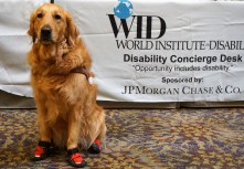 A golden retriever in red booties and a guide dog harness sits in front of a desk